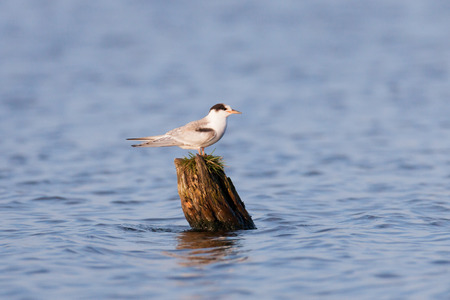 juveniles: Common Tern (Sterna hirundo).Wild bird in a natural habitat.