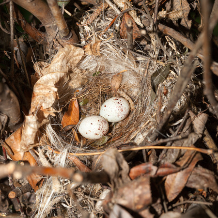 Nest of the European Greenfinch (Carduelis chloris). photo