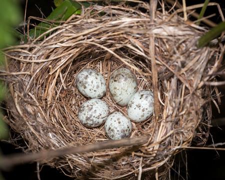 canorus: Marsh Warbler (Acrocephalus palustris).Wild bird in a natural habitat. Nest.