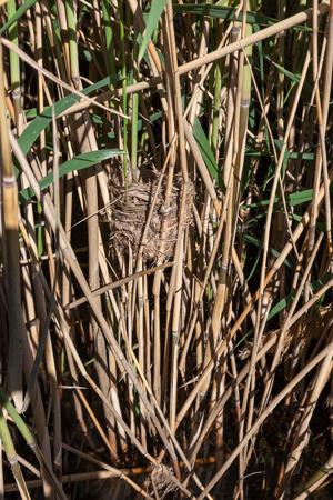 birdnest: Nest of the Great Reed Warbler (Acrocephalus arundinaceus) in the nature. Stock Photo