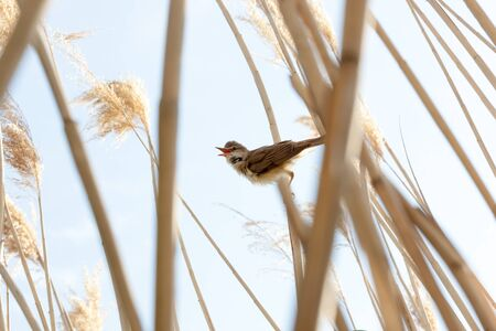 restlessness: Great Reed Warbler (Acrocephalus arundinaceus).Wild bird in a natural habitat. Stock Photo
