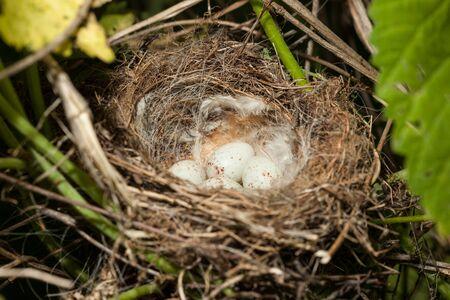 birdnest: Nest of the European Greenfinch (Carduelis chloris). Stock Photo