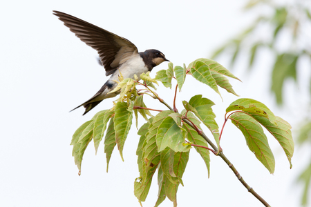 fledgling: Russia, the Ryazan region (Ryazanskaya oblast), the Pronsky District, Denisovo. Barn Swallow (Hirundo rustica)