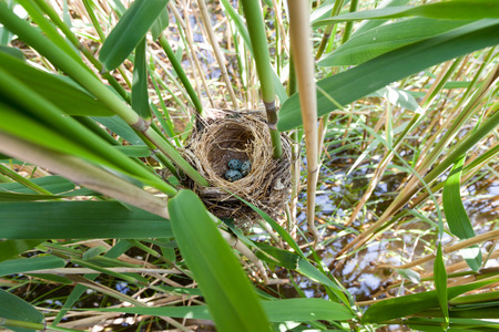 phragmites: Nest of the Great Reed Warbler (Acrocephalus arundinaceus) in the nature. Stock Photo