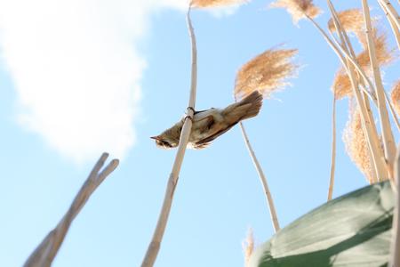 phragmites: Great Reed Warbler (Acrocephalus arundinaceus).Wild bird in a natural habitat. Stock Photo