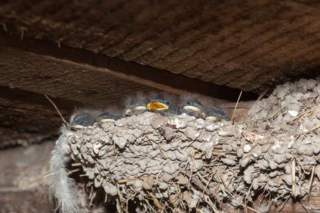 fledgling: Hirundo rustica. The nest of the Barn Swallow in nature. Russia, the Ryazan region (Ryazanskaya oblast), the Pronsky District, Denisovo. Stock Photo