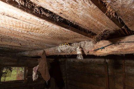 hirundo rustica: Hirundo rustica. The nest of the Barn Swallow in nature. Russia, the Ryazan region (Ryazanskaya oblast), the Pronsky District, Denisovo. Stock Photo