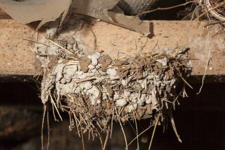 birdnest: Hirundo rustica. The nest of the Barn Swallow in nature. Russia, the Ryazan region (Ryazanskaya oblast), the Pronsky District, Denisovo. Stock Photo