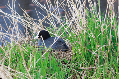 gruiformes: Fulica atra. The nest of the Common Coot in nature. Wildeshausen (Low Saxon: Wilshusen), Lower Saxony, Germany. Stock Photo