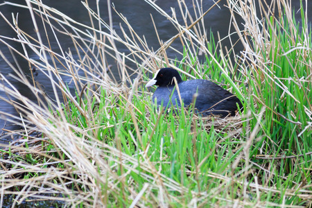 incubation: Fulica atra. The nest of the Common Coot in nature. Wildeshausen (Low Saxon: Wilshusen), Lower Saxony, Germany. Stock Photo