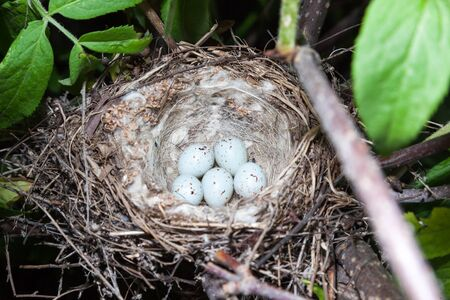 birdnest: Acanthis cannabina. The nest of the Linnet in nature.