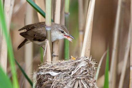 restlessness: Nest of the Great Reed Warbler (Acrocephalus arundinaceus) in the nature. Stock Photo
