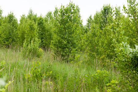 betula pendula: Anthus trivialis. Habitat e uccelli nidificanti. Prispolone.