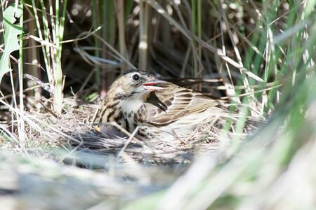 incubate: Anthus trivialis. The nest of the Tree Pipit in nature. Russia, the Ryazan region (Ryazanskaya oblast), the Pronsky District. Stock Photo