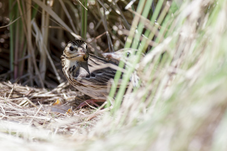 motacillidae: Anthus trivialis. The nest of the Tree Pipit in nature. Russia, the Ryazan region (Ryazanskaya oblast), the Pronsky District. Stock Photo