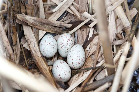 gruiformes: Nest of the Moorhen (Gallinula chloropus) in the nature with eggs.