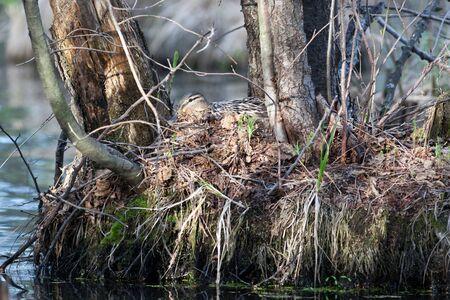 anas platyrhynchos: Anas platyrhynchos. The nest of the Mallard in nature.
