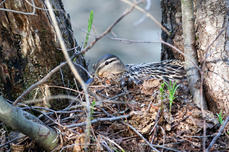 incubate: Anas platyrhynchos. The nest of the Mallard in nature.