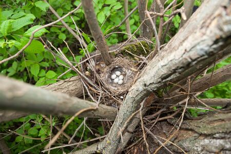 birdnest: Nest of the European Greenfinch (Carduelis chloris). Stock Photo
