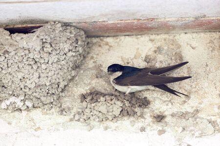 birdnest: Delichon urbica. The nest of the House Martin in nature.  Denisovo. Ryazan region, Pronsky area. Russia.
