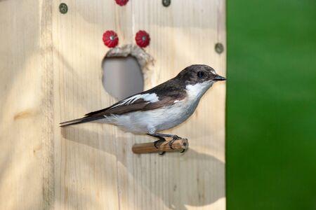srokaty: Pied Flycatcher (Ficedula hypoleuca, Muscicapa hypoleuca). Bird House Zdjęcie Seryjne