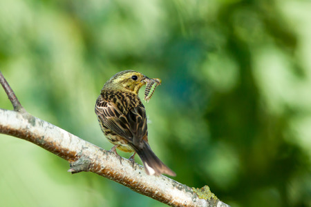 laughable: Yellowhammer (Emberiza citrinella).  Moscow region, Russia Stock Photo