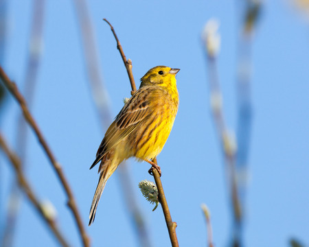 Yellowhammer (Emberiza citrinella).  Moscow region, Russia photo