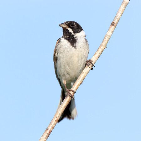 laughable: Reed Bunting (Emberiza schoeniclus, Schoeniclus schoeniclus). Russia.