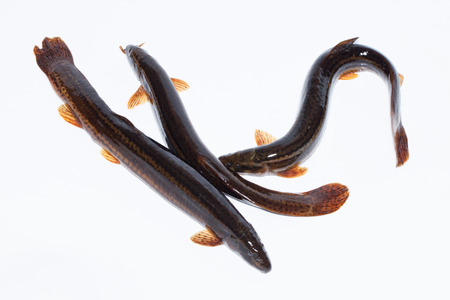 loach: Misgurnus fossilis, European weatherfish. Object in front of white background, isolated.