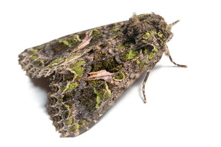 trachea: Butterfly, Trachea atriplicis, Orache Moth.