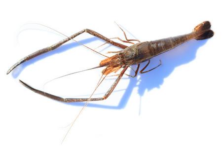 introduced: Macrobrachium nipponense, Shrimp. Introduced species Denisovo, Ryazan region, Pronsky area. Russia