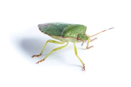 prasina: Palomena prasina, Green shield bug. Green insect