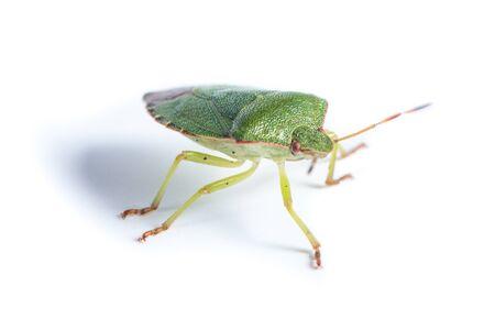 palomena prasina: Palomena prasina, Green shield bug. Green insect