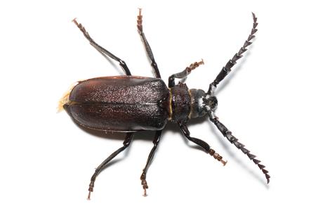 longhorn beetle: Prionus coriarius, Sawing Beetle. female Stock Photo