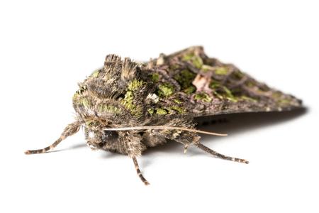 moth: Butterfly, Trachea atriplicis, Orache Moth.