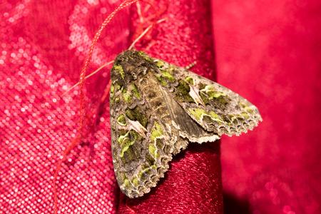 imago: Butterfly, Trachea atriplicis, Orache Moth.