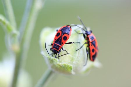 insecta: Pyrrhocoris apterus, Fire bug. Denisovo, Ryazan region, Pronsky area. Russia