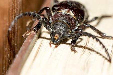 imago: Prionus coriarius, Sawing Beetle. female Stock Photo