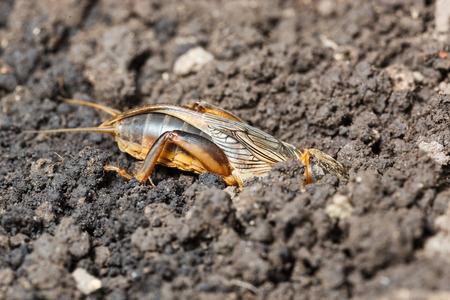 animal mole: European mole cricket