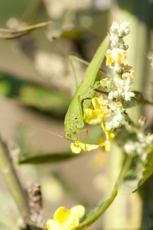imago: Phaneroptera falcata, Sickle-bearing bush-cricket. Pankino. Ryazan region, Pronsky area. Russia