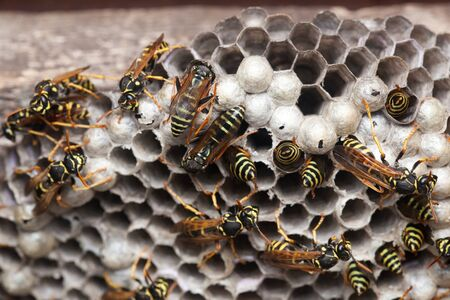 paper wasp: Polistes nimpha, Paper Wasp. Denisovo. Russia Stock Photo