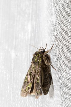 insecta: Butterfly, Trachea atriplicis, Orache Moth.