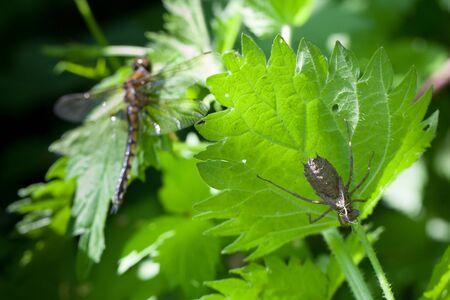insecta: Epitheca bimaculata, Eurasian Baskettail. dragonfly