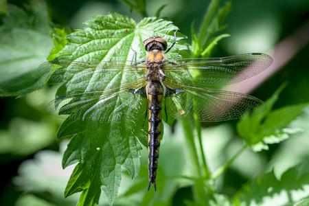 odonata: Epitheca bimaculata, Eurasian Baskettail. dragonfly