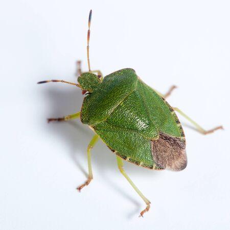 palomena: Palomena prasina, Green shield bug. Green insect
