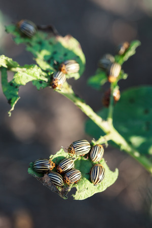 imago: Leptinotarsa decemlineata, Colorado potato beetle. Denisovo, Ryazan region, Pronsky area. Russia