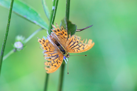 imago: Argynnis paphia, Silver-washed fritillary. Butterfly