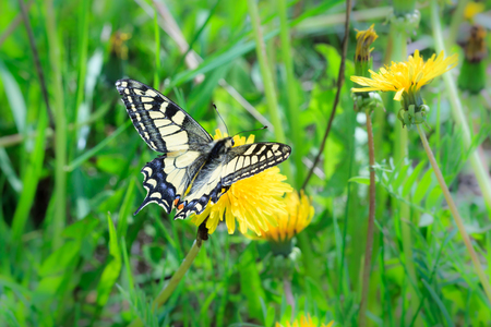 machaon: Butterfly. Papilio machaon, Old World Swallowtail.