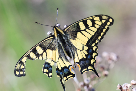 papilio: Butterfly. Papilio machaon, Old World Swallowtail.