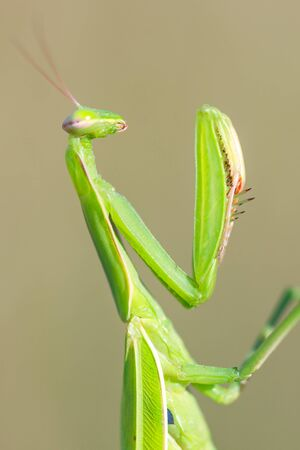 european mantis: Mantis religiosa, European mantis. Pankino. Ryazan region, Pronsky area. Russia Stock Photo